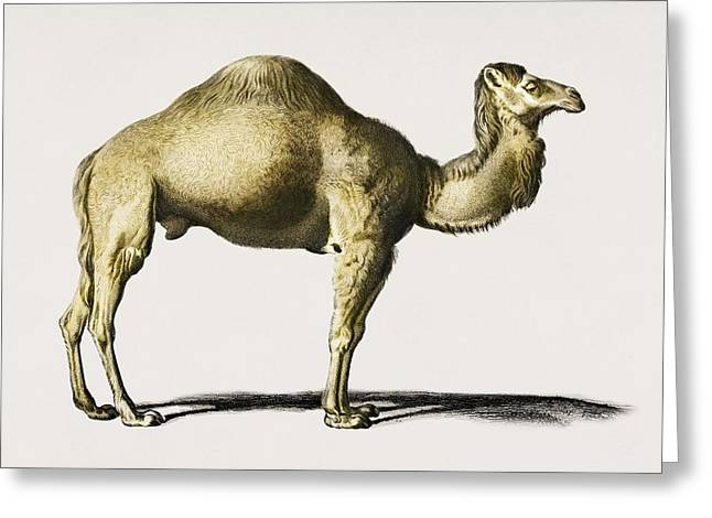 Camel  Camelus  Illustrated By Charles Dessalines D' Orbigny  1806-1876  Greeting Card