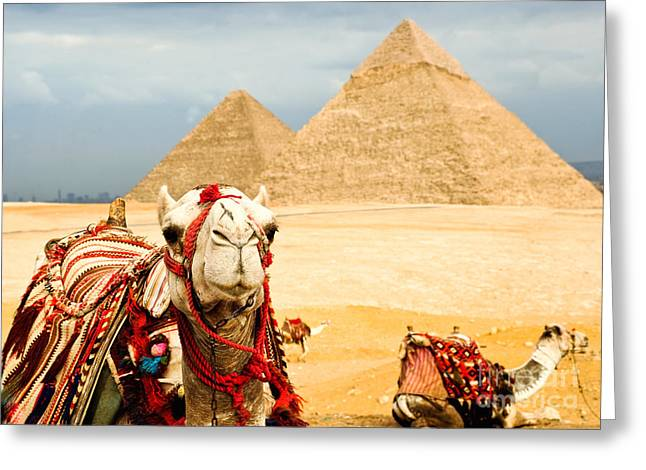 Camel  In Egypt Greeting Card