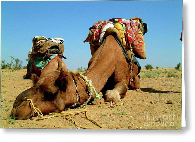 Camel Sleeping During A Desert Safari Greeting Card
