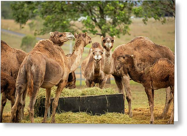 Greeting Card featuring the photograph Camels Out Amongst Nature by Rob D Imagery