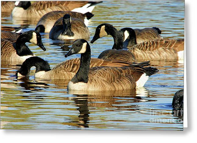 Greeting Card featuring the photograph Canada Geese by Debbie Stahre