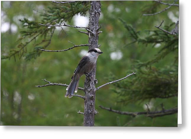 Greeting Card featuring the photograph Canada Jay 101305 by Rick Veldman
