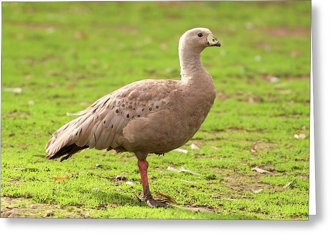 Cape Barron Goose Greeting Card