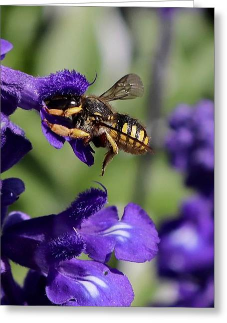 Carder Bee On Salvia Greeting Card
