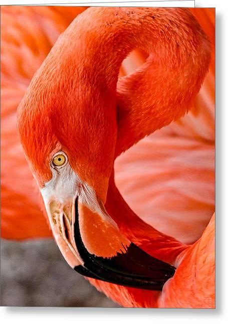 Caribbean Flamingo Greeting Card