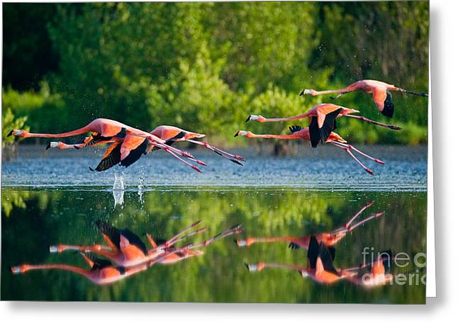 Caribbean Flamingos Flying Over Water Greeting Card