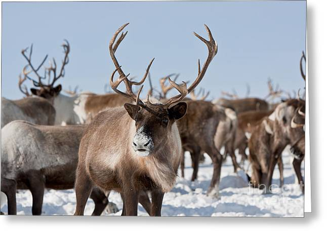 Caribou Group On Pastures In The Greeting Card