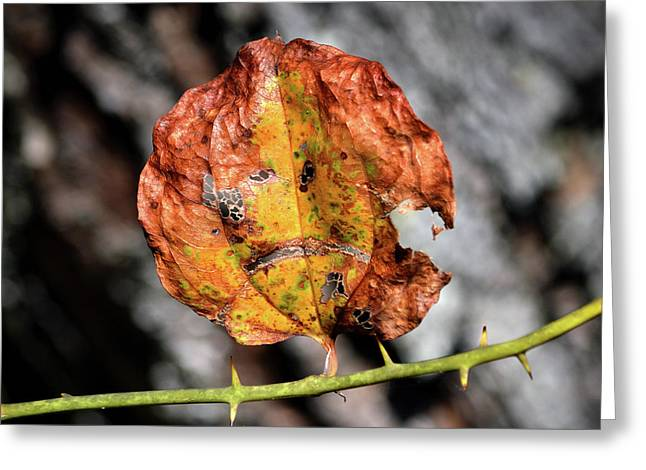 Greeting Card featuring the photograph Carved Pumpkin Leaf At Gordon's Pond by Bill Swartwout Fine Art Photography