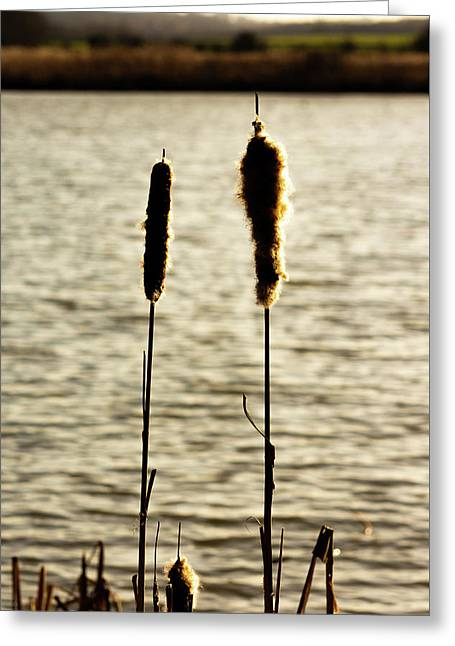 Cattails In The Sun Greeting Card