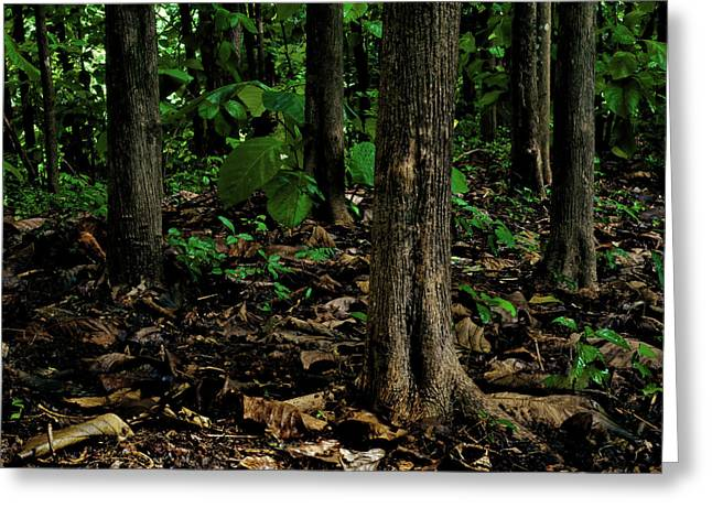 Cedar Trees Greeting Card