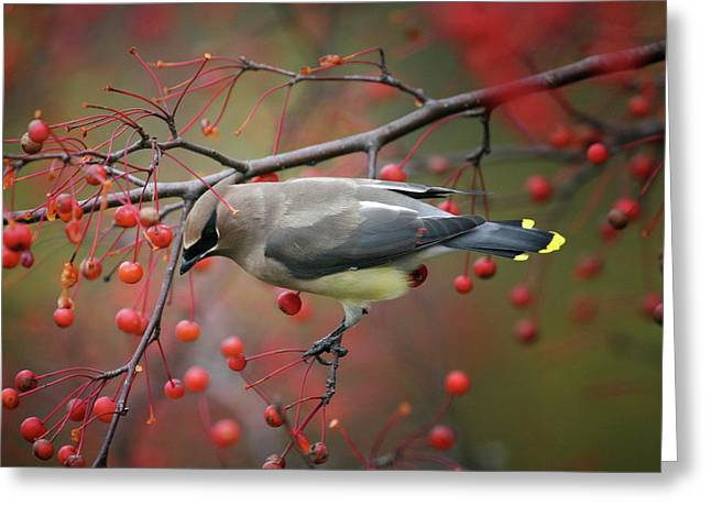 Greeting Card featuring the photograph Cedar Waxwing 102206 by Rick Veldman