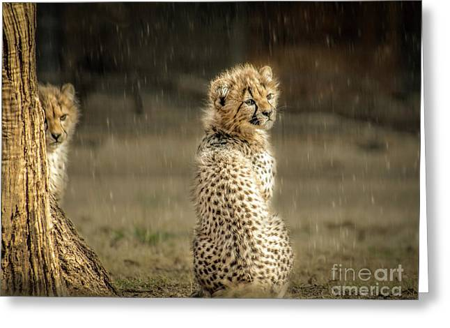 Cheetah Cubs And Rain 0168 Greeting Card