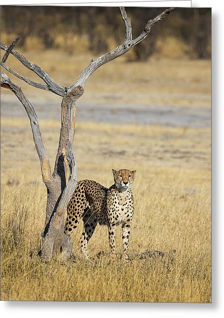 Greeting Card featuring the photograph Cheetah by John Rodrigues