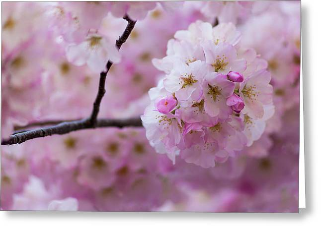 Cherry Blossom 8624 Greeting Card