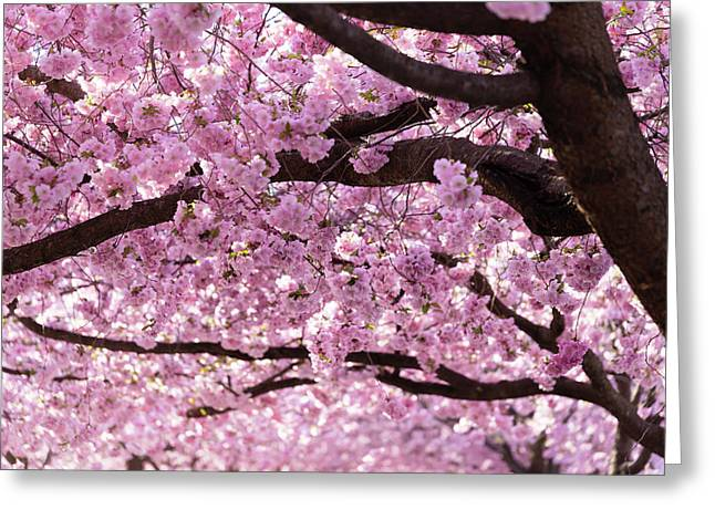 Cherry Blossom Trees Greeting Card