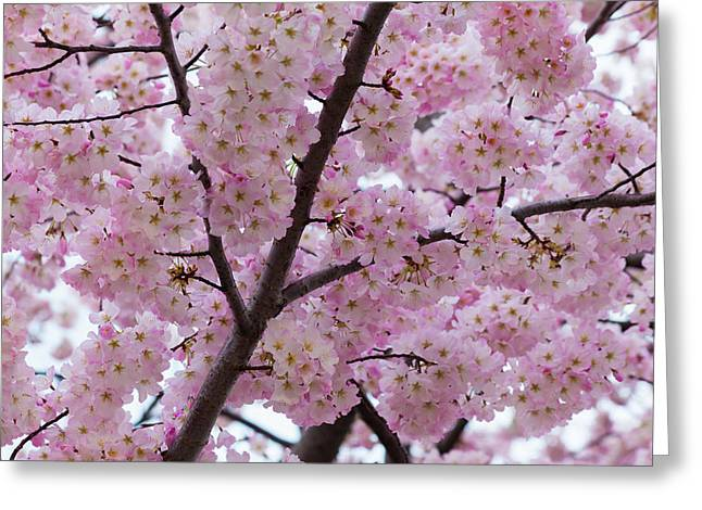 Cherry Blossoms 8611 Greeting Card