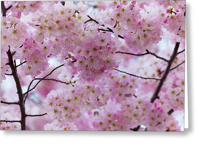 Cherry Blossoms 8625 Greeting Card