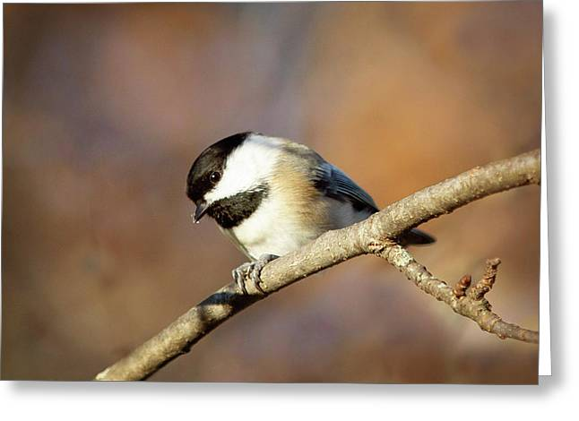Greeting Card featuring the photograph Chickadee by Sue Collura