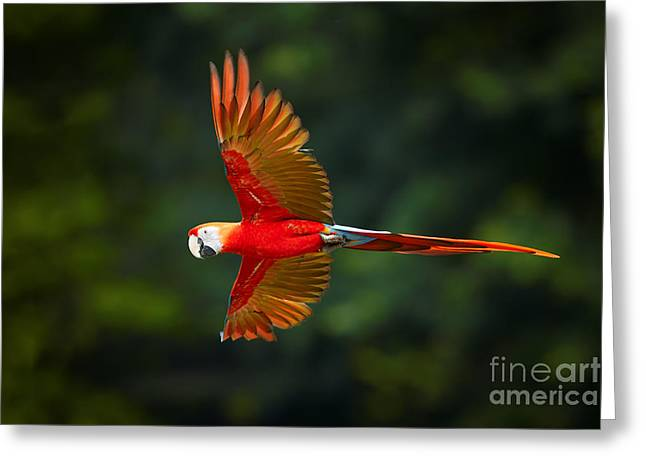 Close Up Ara Macao, Scarlet Macaw, Red Greeting Card