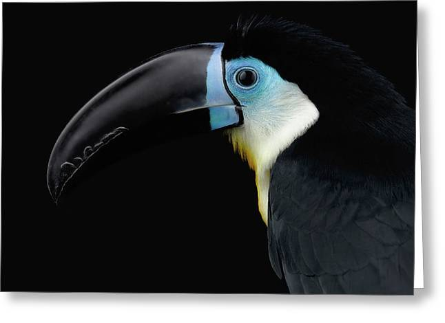 Close-up Channel-billed Toucan, Ramphastos Vitellinus, Isolated On Black Greeting Card