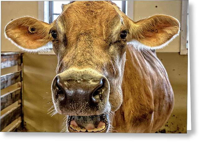 Close Up Of A Jersey Dairy Cow Greeting Card