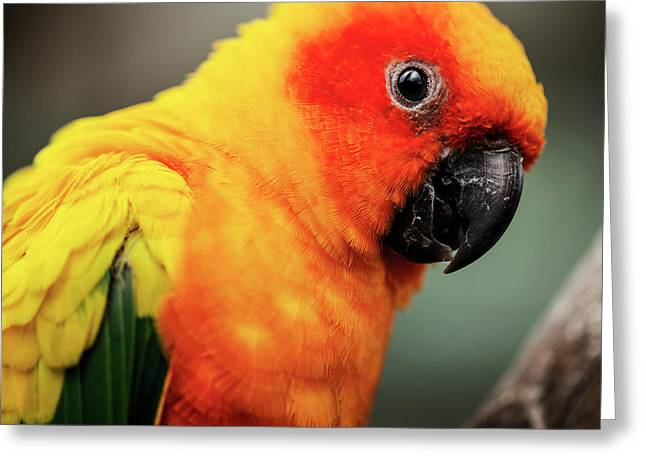 Close Up Of A Sun Conure Parrot. Greeting Card