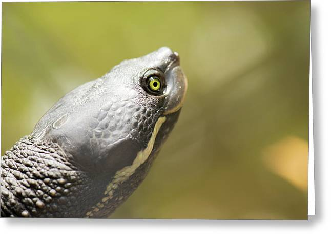 Close Up Of A Turtle. Greeting Card
