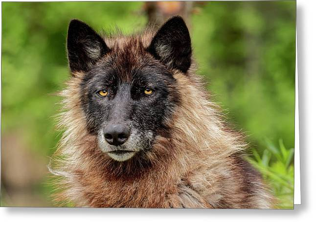 Close-up Of Adult Male Gray Wolf, Canis Greeting Card by Adam Jones
