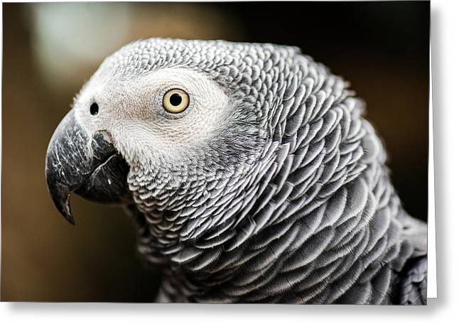 Close Up Of An African Grey Parrot Greeting Card