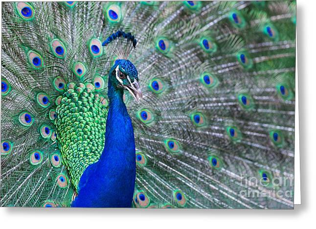 Close Up Of Beautiful Male Peacock With Greeting Card
