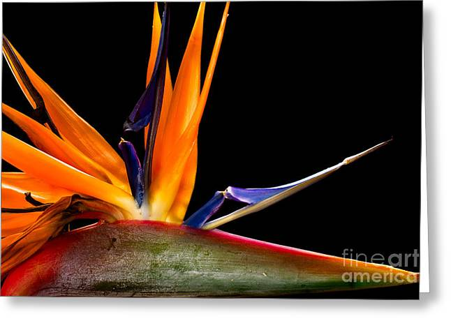 Close-up Of Colorful Strelitzia Flower Greeting Card