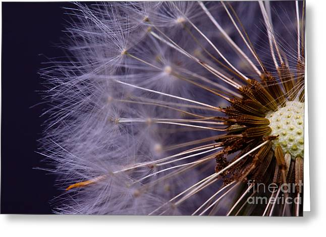 Close-up Of Dandelion Seed Greeting Card