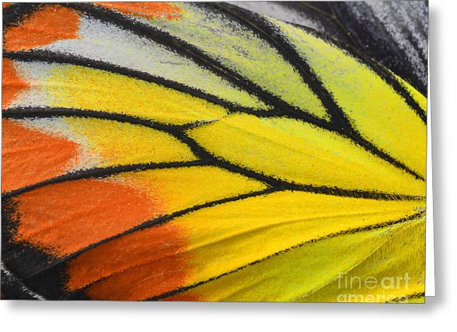 Close Up Of Painted Jezebel Butterflys Greeting Card by Super Prin
