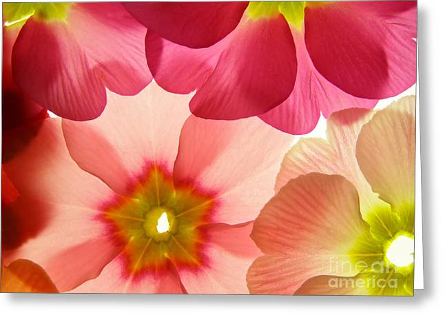 Close-up Of Primula Flower Against Greeting Card