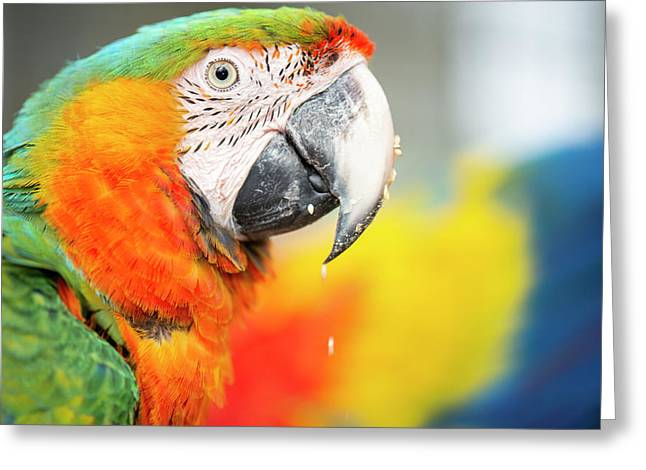 Close Up Of The Macaw Bird. Greeting Card