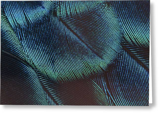 Close-up Peacock Feathers Greeting Card