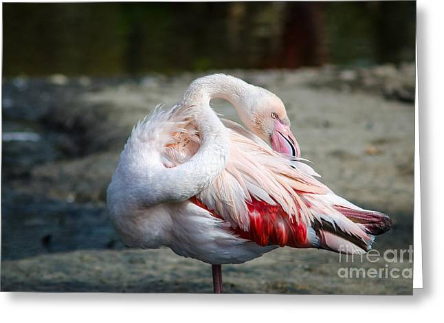 Close-up Pink Flamingo Portrait Greeting Card