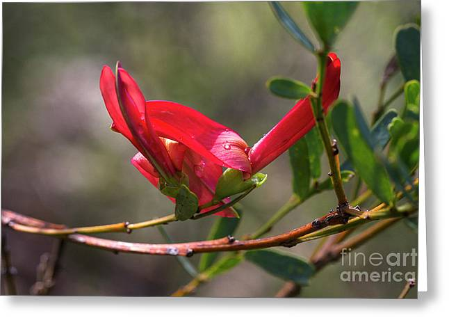 Greeting Card featuring the photograph Cockies Tongue Templetonia Retusa by Elaine Teague