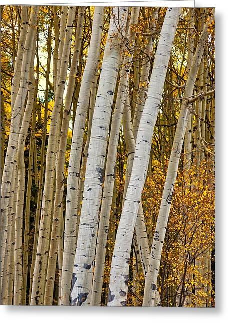 Colorado Aspens Greeting Card