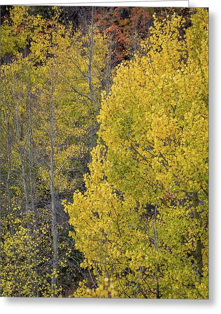 Colorado Aspens Greeting Card