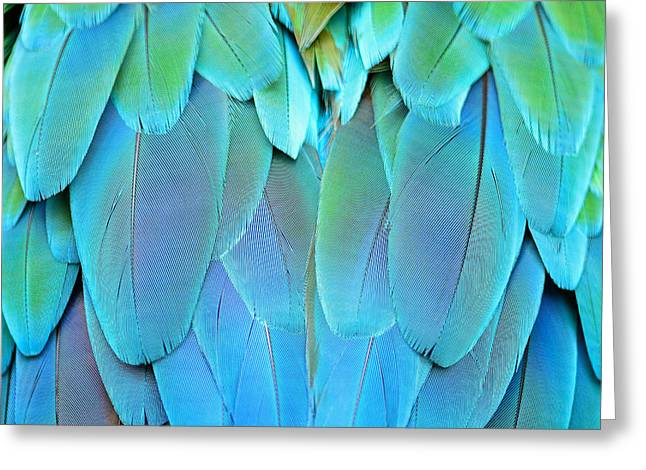 Colorful Feathers, Harlequin Macaw Greeting Card