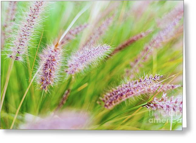 Colorful Flowers In Purple Spikes, Purple Fountain Grass, Close- Greeting Card