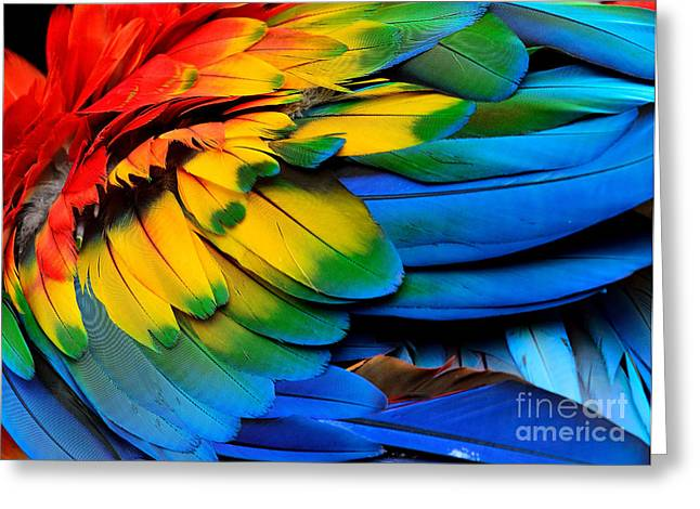 Colorful Of Scarlet Macaw Birds Greeting Card