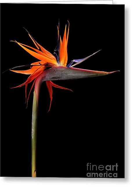 Colorful Strelitzia Flower Also Called Greeting Card