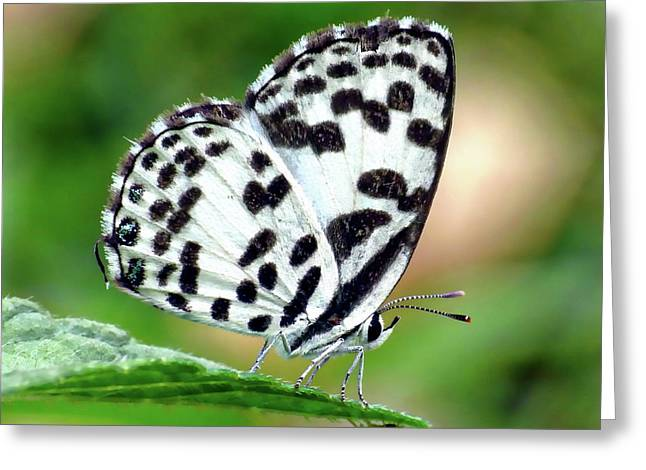 Greeting Card featuring the photograph Common Pierrot Butterfly by Anthony Dezenzio