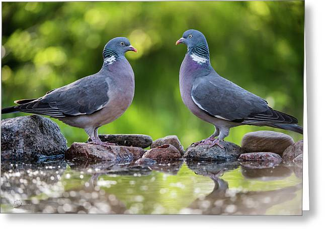 Common Wood Pigeons Meeting At The Waterhole Greeting Card