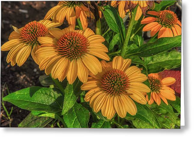 Greeting Card featuring the photograph Coneflowers  by Guy Whiteley
