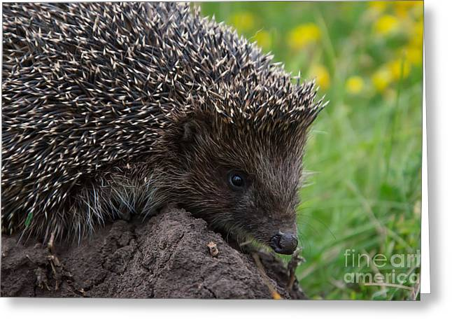 Cool Hedgehog On The Ground At Nature Greeting Card