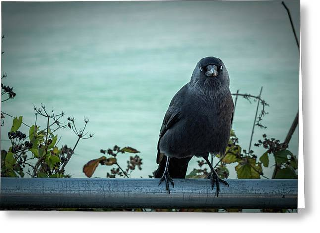 Cornish Crow Greeting Card