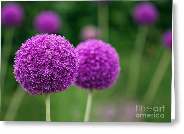 Couple Of The Allium Purple Flowers Greeting Card